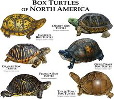 Box Turtles of North America by rogerdhall on DeviantArt                                                                                                                                                                                 More