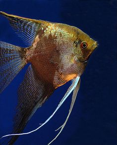 Leopard Veiltail Angelfish (Freshwater Angelfish)