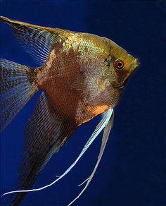 Types of Freshwater Angelfish