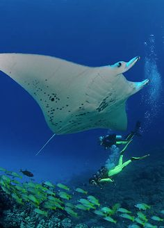 giant manta rays scuba diving hawaii - i want to swim with these gentle giants