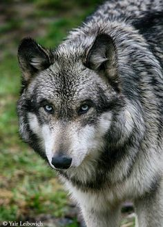 This wolf has that suspicious look, maybe its the eye color.