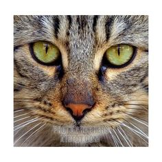 Stock Photography image of close up cat face stock photo pd1565940.jpg ❤ liked on Polyvore featuring animals