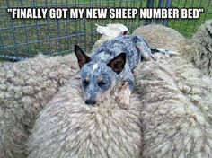 Heelers are the best