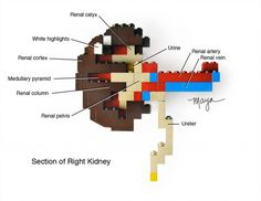 Lego Kidney Build. Cool site with LEGO science projects