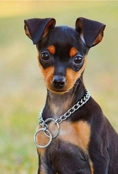 Miniature Pinscher / zwergpinscher / min-pin / King of the Toys - Looks like Kobe-dog Mini Pinscher, Doberman Pinscher Dog, Miniature Pinscher, Puppies And Kitties, Cute Puppies, Pet Dogs, Dog Cat, Doggies, Chihuahua Dogs