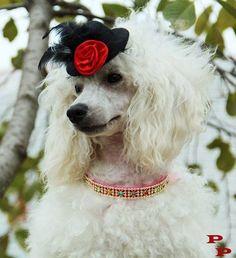 Fancy poodle!