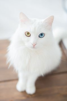 Odd-eyed cats are felines with heterochromia iridum, meaning an individual has one blue eye and one eye that is either green, yellow or brown. #persiancateyes