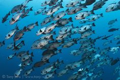 Large school of black and white snappers (Macolor niger) patrolling just off the reef at the Blue Corner dive site in Palau 黑背笛鯛