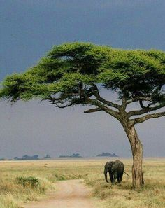 Photographer Tanveer Badal and writer Kelly Phillips Badal journeyed through Kenya and Tanzania to find exotic wildlife, adventure, and hospitality in some of the finest luxury safari lodges in East Africa. African Elephant, African Animals, African Safari, Ed Wallpaper, African Tree, Out Of Africa, East Africa, Safari Animals, Still Life