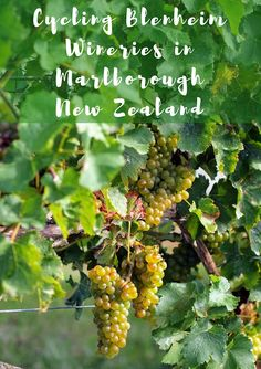 Cycling Blenheim wineries in Marlborough New Zealand with Bike 2 Wine. Marlborough New Zealand. Blenheim wine tours by bike. New Zealand North, Visit New Zealand, New Zealand South Island, Marlborough Wine, Marlborough New Zealand, New Zealand Itinerary, New Zealand Travel Guide, Auckland, Wine Safari