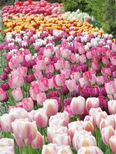 Tulip beds at Roozengaarde Gardens at the Skagit Tulip Festival in Washington State. Photo by Taryn Koerker.