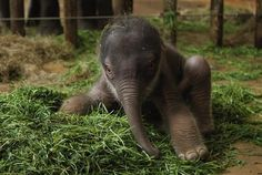 2-day-old baby baby Asian elephant