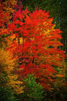 Red Maple, Blue Hills, Wisconsin...Wow!