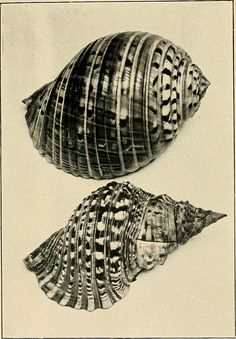"""Image from page 58 of """"Beautiful shells of New Zealand : an illustrated work for amateur collectors of New Zealand marine shells, with directions for collecting and cleaning them"""" (1908)   Flickr - Photo Sharing!"""