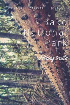 Discover Bako National Park on Sarawak, Borneo in Malaysia. Considering the short distance from Kuching, Bako National Park is ideal for a one or two-day travel trip! Read all you need to know about Bako NP hiking trails, spotting wildlife and accommodation in Bako National Park. We also share how to get to Bako NP. Enjoy! Travel tips