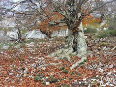 Faggio lepino in autunno