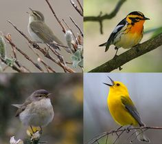 Who's got the best warblers (and why?): Europe vs. America edition