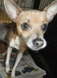 Randy is an adoptable Chihuahua Dog in Indianapolis, IN. Randy is a peppy little chihuahua mix. He is a young adult and learning the ropes at the shelter. He seems to like everyone too! Rescued 11/5...