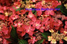 1.macrophylla selinaMetNaam
