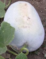 """Oblong Tong Winter Melon - Wax Gourd, also called White Gourd and Tong Qwa, is a fast-growing, long-season, warm-climate vegetable. The plant grows like the pumpkin over the ground and can grow up to 50 pounds. Fruits can be stored in a cool place for months and used later in the winter season, Tong Qwa means """"Winter Melon"""" in Chinese."""