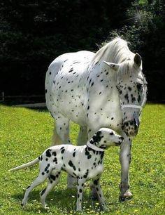 Dalmatian and Appaloosa Caballos Appaloosa, Noriker Horse, Appaloosa Horses, Leopard Appaloosa, Pretty Horses, Horse Love, Beautiful Horses, Animals Beautiful, Farm Animals