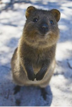 The Quokka is a cuddly Australian marsupial with an irresistible smile. Description from quora.com. I searched for this on bing.com/images
