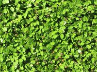 Leptinella dioca Native Vigorous spreading mats of bright, fresh green fern-like leaves to 3-5cm high. Tolerates wet and dry periods and salt water - which can be used for irrigation and weed control. Will grow on clay banks - 2 forms available. Light-moderate traffic.