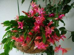 Cacto Flor de Maio