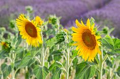 Sunflower and Lavender field close up, France by Anastasy Yarmolovich #AnastasyYarmolovichFineArtPhotography  #ArtForHome #Flowers #Provence
