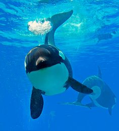 Swim with Orca Whales