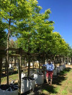 Gleditsia triancanthos Sunburst 20-25cm girth, Honey locust, one of the best trees with yellow foliage