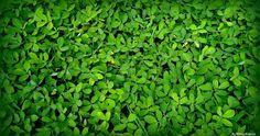 Herbácea reptante.      GRAMA-AMENDOIM - ( Arachis repens )     NOME CIENTÍFICO : Arachis repens.    NOME POPULAR : Grama-amendoim, amen...