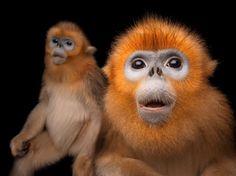 Golden snub-nosed monkeys (Rhinopithecus roxellana) pose at Ocean Park Hong Kong.