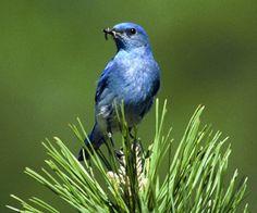 Nevada designated the mountain bluebird (Sialia currucoides) as the official state bird in 1967 (also the state bird of Idaho). Black Bird Tattoo, Nevada State, Audubon Society, State Birds, Carson City, Las Vegas Nevada, Bird Watching, Washington State, Beautiful Birds
