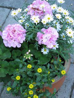 Pink geranium and white daises