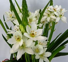 This potted Ornithogalum hybrid is worth the search in the middle of winter.