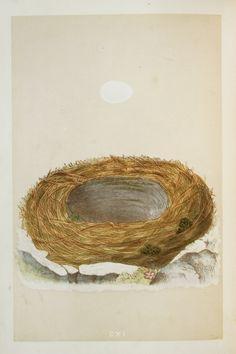 Black Redstart Nest & Eggs Reverend Morris 1800s by PaperPopinjay