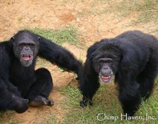 Keithville, LA - Chimp Haven is a nonprofit organization for the establishment of a safe haven for chimpanzees no longer needed in laboratories or in entertainment industries, or as pets.