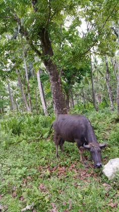 Philippine carabao