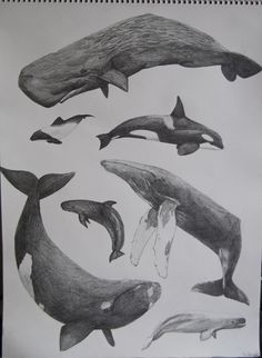 Southern Right Whale Dolphin | Tumblr