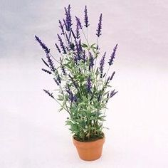 Lavender is a perennial herb that loves dry and warm growing space. Lavender is a pe Lavender Potted Plant, Lavender Plant Care, Lavender Bush, Growing Lavender, Lavender Fields, Indoor Vegetable Gardening, Container Gardening, Garden Plants, Plants