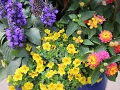 Calibrachoa 'Minifamous Compact Deep Yellow' is great for containers.  Lantana 'Lucky Sunrise Roses' on the right, is a heat-loving plant.  Salvia 'Mystic Spires Blue' is great for late spring and summer and the  canna 'Cannova Bronze Scarlet' begins blooming in midsummer and  continues until frost.