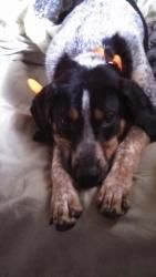 Cheddar is an #adoptable Bluetick Coonhound Dog in #Chicago, #ILLINOIS -   Meet Cheddar! He is one of the 4 coonhounds found living in filth...he is around 8 months old and is a typical happy puppy!   Cheddar i...