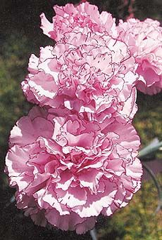 Carnations grow best in sandy loam soil...carnation care