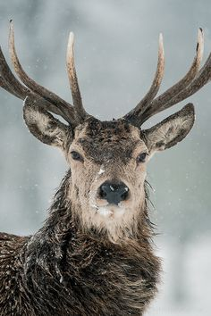Red Deer Winter Portrait by Old Man George #animal #photography #winter #snow #handsome #deer #beauty #stag #antlers #venison