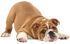 Dog Training –Training for Proper Dog Behavior Dog Photos, Dog Pictures, Pet Dogs, Dogs And Puppies, Bulldogs Ingles, Dog Halloween Costumes, Old English Bulldog, Aggressive Dog, Wild Dogs