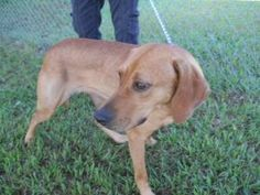 Luci is an adoptable Redbone Coonhound Dog in Chipley, FL. Luci is a sweet and friendly girl who appears to be about 2 years old. She has the floppy ears and looks mostly coonhound with the big floppy...