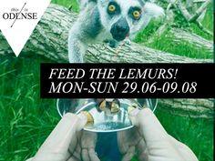 Feed the lemurs! Kom ud på lemurernes ø, i #OdenseZoo, og fodr dem med dine bare næver. Læs anbefalingen på: http://www.thisisodense.dk/da/19433/kom-helt-taet-paa-lemurerne