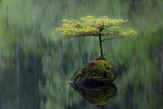 Fairy Lake Bonsai