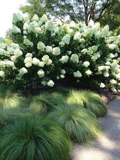 Silk tassels Morrow's Sedge with Limelight Hydrangeas